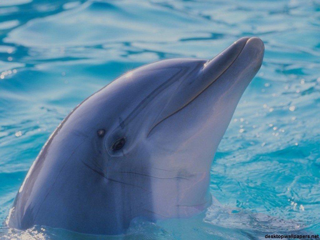 Wallpaper Animals Dolphins Dolphin Wallpaper 005 1024