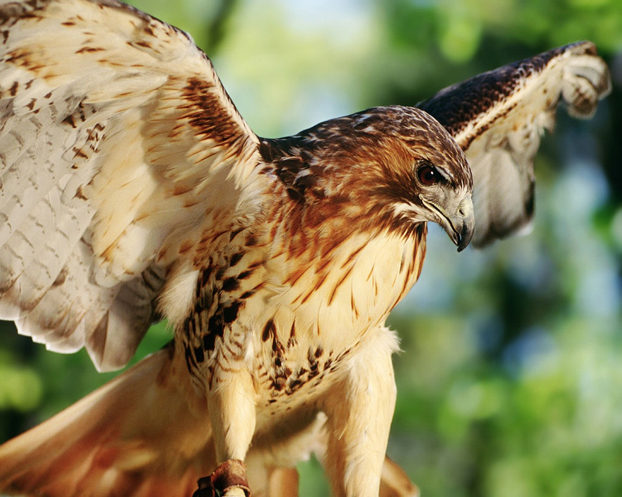 Wallpaper animals misc red tailed hawk - Red tailed hawk wallpaper ...